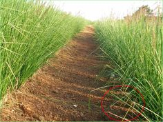Venezuela - Sediment is trapped behind each vetiver grass hedge reducing erosion.