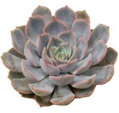 Echeveria Orion - Metropolitan Wholesale | Metropolitan Wholesale