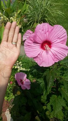 My giant flower hibiscus