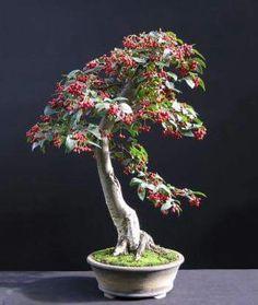 Muero por saber la variedad de este árbol por la coloracion de sus hojas y esos frutos en ramillete tan caracteristico