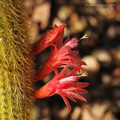 Cleistocactus winteri, cultivated