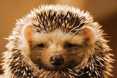 Hedgehogs = <3
