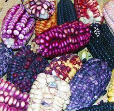 El maíz es la base principal de la comida tradicional mexicana.