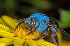 Carpenter bees are docile insects with the important task of pollinating our food supplies. But they nest in old wood and often choose inappropriate sites – like our fences, garages, and homes. If you're experiencing problems with an infestation, join us now for a look at how to prevent and be rid of existing nests. #carpenterbees #gardenerspath Reptiles, Carpenter Bee, How To Read Faster, Woodworking School, Flying Insects, Different Types Of Wood, Yellow Flowers, Funny Pictures, Stock Photos
