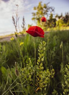 Beautiful red poppy in a green field Green Fields, Red Poppies, Poppy, Beautiful Flowers, Plants, Colors, Plant, Poppies, Planets