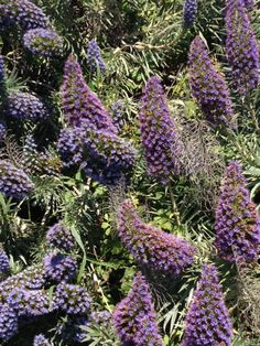 Purple Echium flowers in Santa Cruz