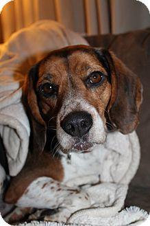 Spokane, WA - Beagle. Meet Spencer a Dog for Adoption.