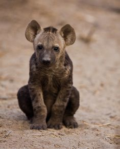 A ten-week-old spotted hyena cub outside its underground den , Mombo Camp, Botswana by Wildographer Grant Atkinson