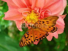 Orange butterfly on the flower