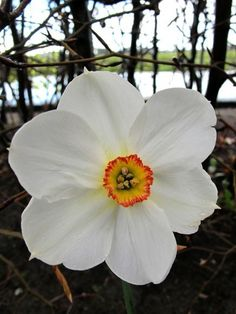 Daffodil Actaea available at LivingGardens.com