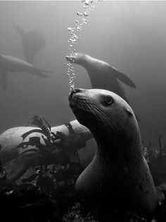 harbor sea lions.... sea lions have flaps over their ears, seals do not. sea lions can also rotate their back flippers under and walk on all 4s, seals can not.
