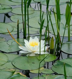 Lotus with Reeds Water Flowers, Water Plants, Water Garden, Beautiful Flowers, Garden Pond, Lily Pond, Aquatic Plants, Flower Art, Lotus Flower