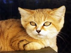 Sand Cat - They have thick fur on the bottom of their feet. This thick fur ensures that the cats don't burn their sensitive pads on the hot sand. Rusty Spotted Cat, Small Wild Cats, Big Cats, Baby Animals, Cute Animals, Sand Cat, Clouded Leopard, Animals, Gatos