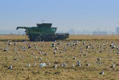 Harvest, Rice, Scenery, Jim Rice, Brass