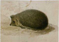 hedgehog illustration by Edward Lear, Hedgehog Animal, Hedgehog Art, Cute Hedgehog, Hedgehog Illustration, Nature Illustration, Edward Lear, Graphite Drawings, Animal Sketches, Realism Art