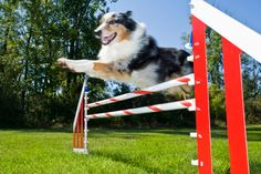 How to Make Dog Agility Equipment Out of PVC Pipe