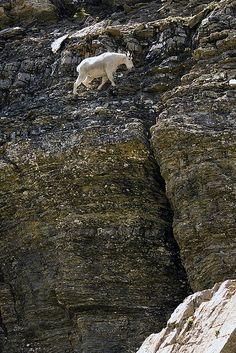 Mountain Goats in Glacier National Park, Montana