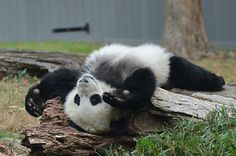 The Power Of Panda Belly | Bao Bao, Giant Panda Cub (Born: A… | Flickr
