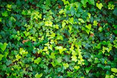 Green wall of Ivy leaves - Stock Photo - Images