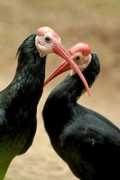 Here's another large bald bird from Africa (apparently featherloss is a big problem there for birds?): the Southern Bald Ibis (Geronticus calvus).    These odd-looking birds breed in colonies amongst rocks and along cliffs where females lay 2-3 eggs which are incubated for 21 days before hatching.