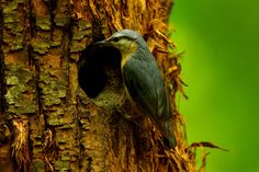 The Eurasian nuthatch or wood nuthatch (Sitta europaea) by marco branchi on 500px