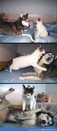 Cat vs. Husky