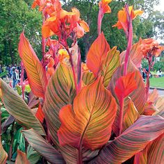 Tropicanna Canna boasts the most eye-catching foliage in the family: crimson, orange, and gold pinstripes make the leaves look breathtaking when sunlight shines through them!