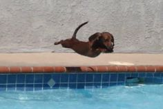 Yes....dachshunds CAN fly!