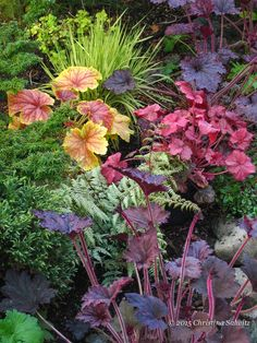 Heuchera 'Delta Dawn', 'Berry Smoothie' and 'Frosted Violet' work beautifully with 'Ghost' fern and Variegated Moore Grass.