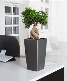 a mini bonsai plant located on an office desk interested in bonsai for your offices bonsai tree office