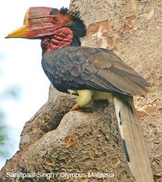 Helmeted hornbill..he sure is an ugly critter!