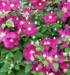 Barbara Harrington..dark rosy red sport of comtess de bouchaud. Blooms new wood as grp 3s do.