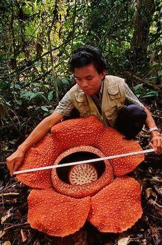 The Rafflesia flower ~ biggest flower in the world!