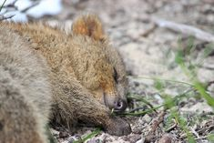 Image result for quokka sleeping