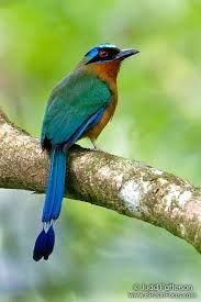Pájaro león / Blue-crowned Motmot (Momotus momota) is a colourful near-passerine bird found in forests and woodlands of eastern Mexico, Central America, northern and central South America, and Trinidad and Tobago. Tropical Birds, Exotic Birds, Colorful Birds, Pretty Birds, Love Birds, Beautiful Birds, Kinds Of Birds, Bird Pictures, Amazing Pictures