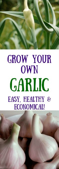 Home-grown garlic an easy, fun, and economical crop. How to plant and harvest garlic bulbs, shoots, and scapes for great cooking and better health. Click to read more or pin to save for later!