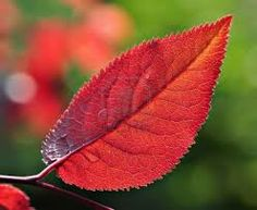 prunus cerasifera pissardii - Google Search Prunus, Plant Leaves, Google Search, Plum Tree, Shrubs, Leaves, Peach