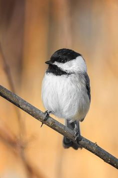 Black-Capped Chickadee Perched with Fall Colors in the Background - Bird Photo Print  https://www.etsy.com/listing/561631277/black-capped-chickadee-perched-with-fall