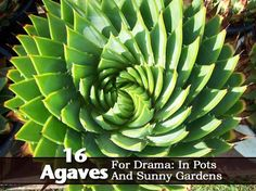 16 Gorgeous Agave Plants For Pots And Sunny Locations