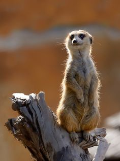 meerkat on guard Cutest Animals On Earth, Animals And Pets, Baby Animals, Funny Animals, Cute Animals, Wild Animals, Beautiful Creatures, Animals Beautiful, Photo Animaliere
