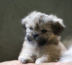 Omg! Adorable lhasa puppy!