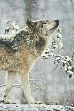 Lobo en medio de una nevada.