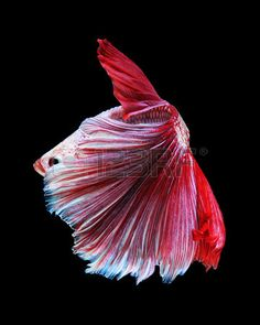 White-red Betta Fish, Siamese Fighting Fish On Black Background Stock Photo, Picture And Royalty Free Image. Image 38204675.