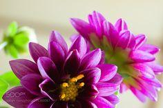 Dahlia (Robert Jolly / Osaka / Japan) #Pentax K-1 #macro #photo #insect #nature