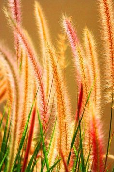 Grasses are a beautiful addition to the garden landscape.