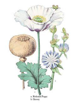 william rhind botanical | Botanical art print of a Poppy and Chicory