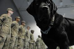 """""""Major Butch,"""" a therapy dog with the 219th Medical Detachment (Combat Operational Stress Control) concludes her tour in Afghanistan at Bagram Air Field, Feb. 1. The 85th Med. Det. (COSC) from Fort Bliss, Texas, assumes the various 219th missions at the transfer of authority ceremony held here today. (DoD photo by Maj. Charles Patterson, Task Force MED-A Public Affairs/Released)"""