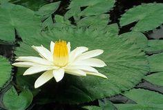 Nenufar Nymphaea lotus forma dentata Fotografia de John Glover, uno de los primeros y de los mas importantes fotografos de jardin del Reino Unido