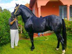 Berber horse