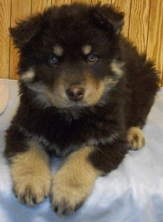 He is a teddy bear! German Shepherd/Husky/Great Pyrenees mix